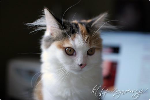 耳毛の長い猫