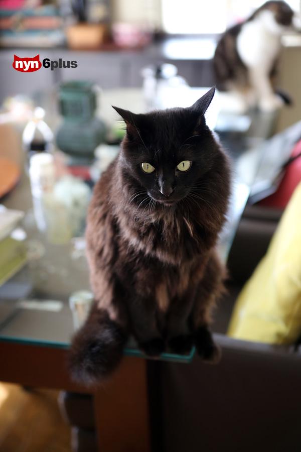 強烈な自己主張をする黒猫